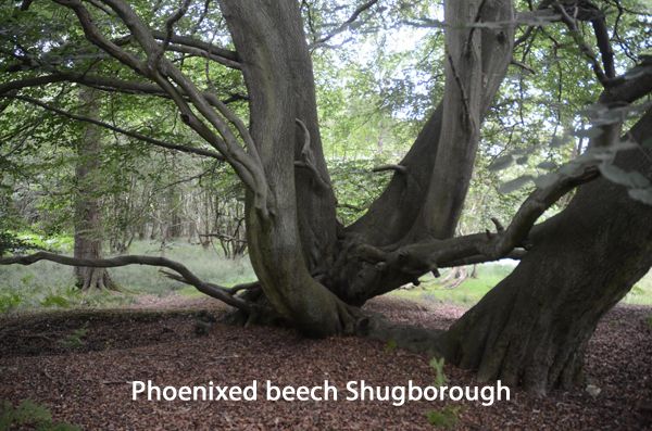 PhoenixedbeechShugborough.jpg